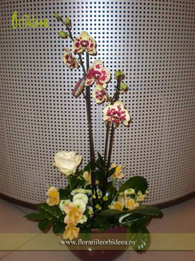 Orhidee Arlechin, Phalaenopsis